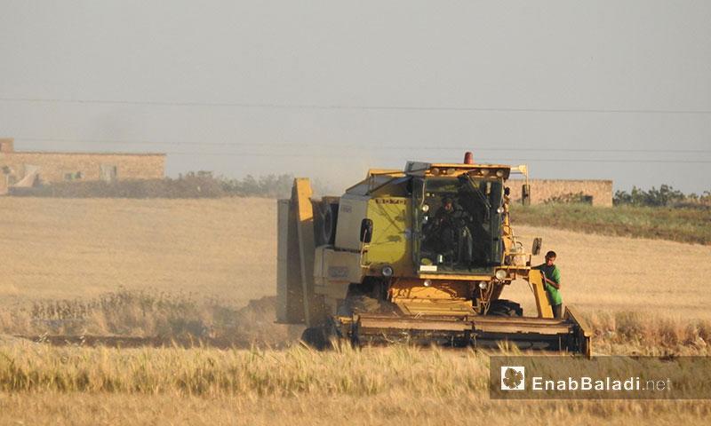 Wheat yield in the northern countryside of Aleppo (Enab Baladi)