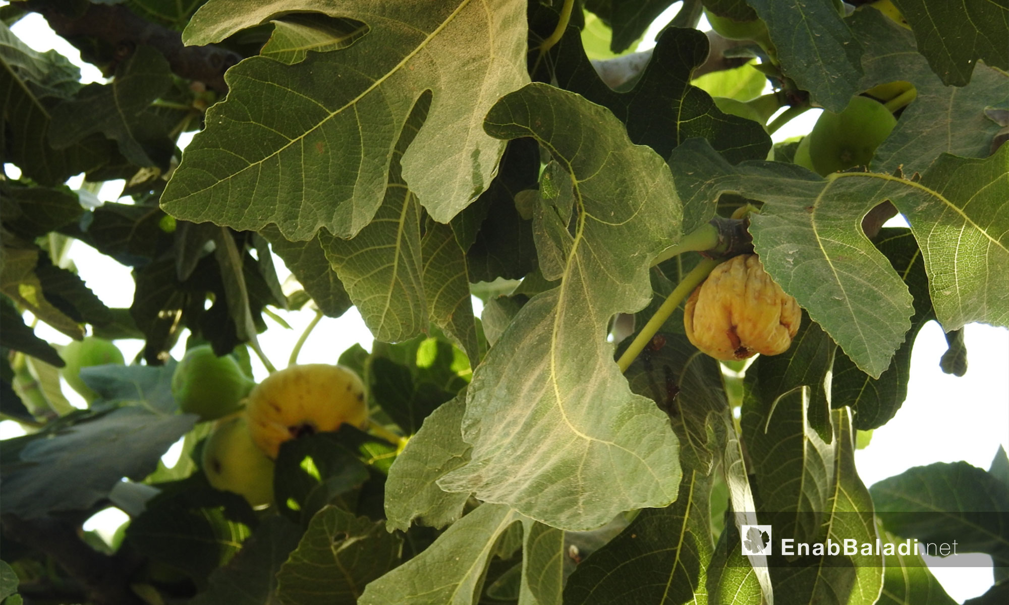 The figs season in the northern countryside of Aleppo – July 24, 2018 (Enab Baladi)
