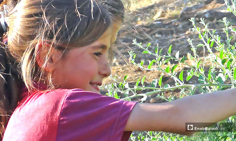 Children picking caper in rural Hama – July 6, 2017 (Enab Baladi)