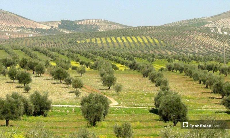 Olive fields in Arfin area, northern rural Aleppo – (Enab Baladi)