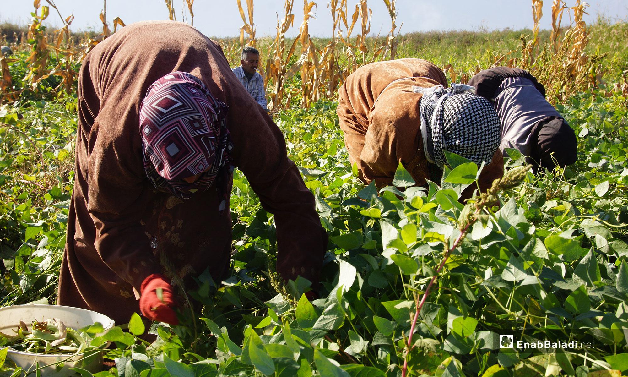 Women harvesting kidney beans in the al-Ghab Plain, rural Hama – 31 October 2018 (Enab Baladi)