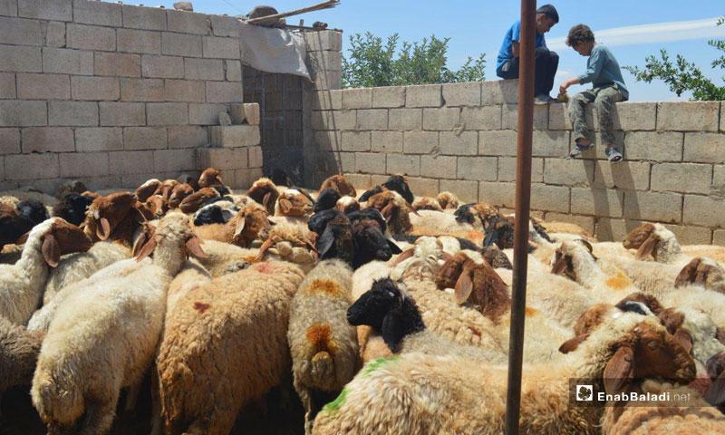 Sheep in a barn, southern rural Idlib (Enab Baladi)