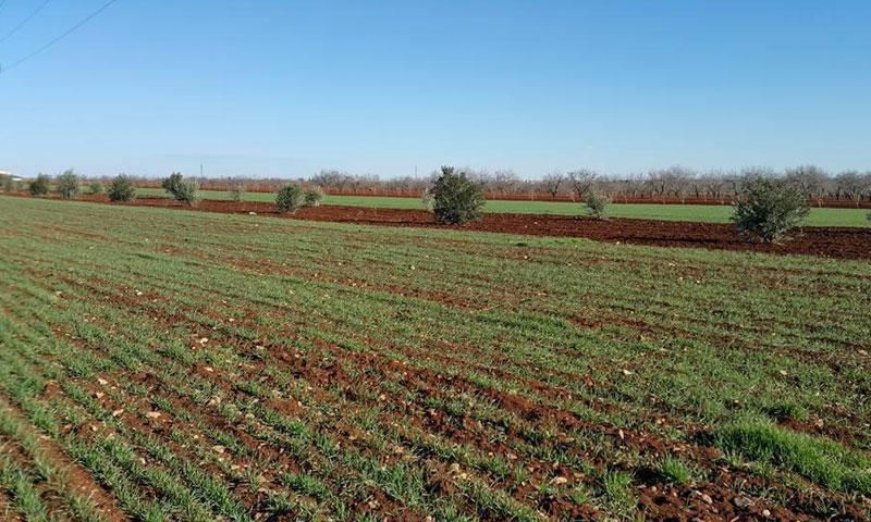 Farms in the vicinity of the city of Azaz - February 2017 (Azaz Media Office)