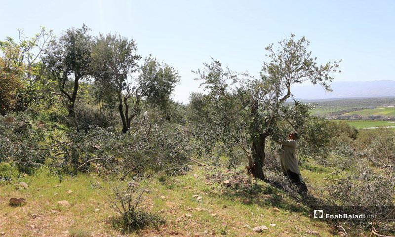 A farmer harvesting olives in Idlib Governorate – November 2018