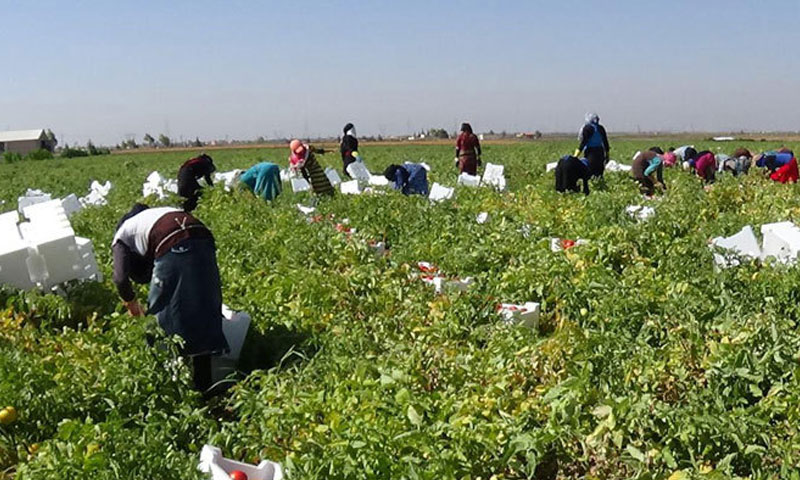 Harvesting tomatoes in the governorate of Daraa-July 2016 (SANA)