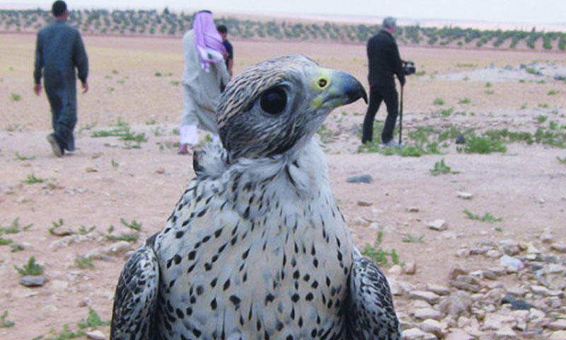 Shows presented by hunters and breeders of birds of prey at the Spring Festival in Hama - 2008 (esyria)