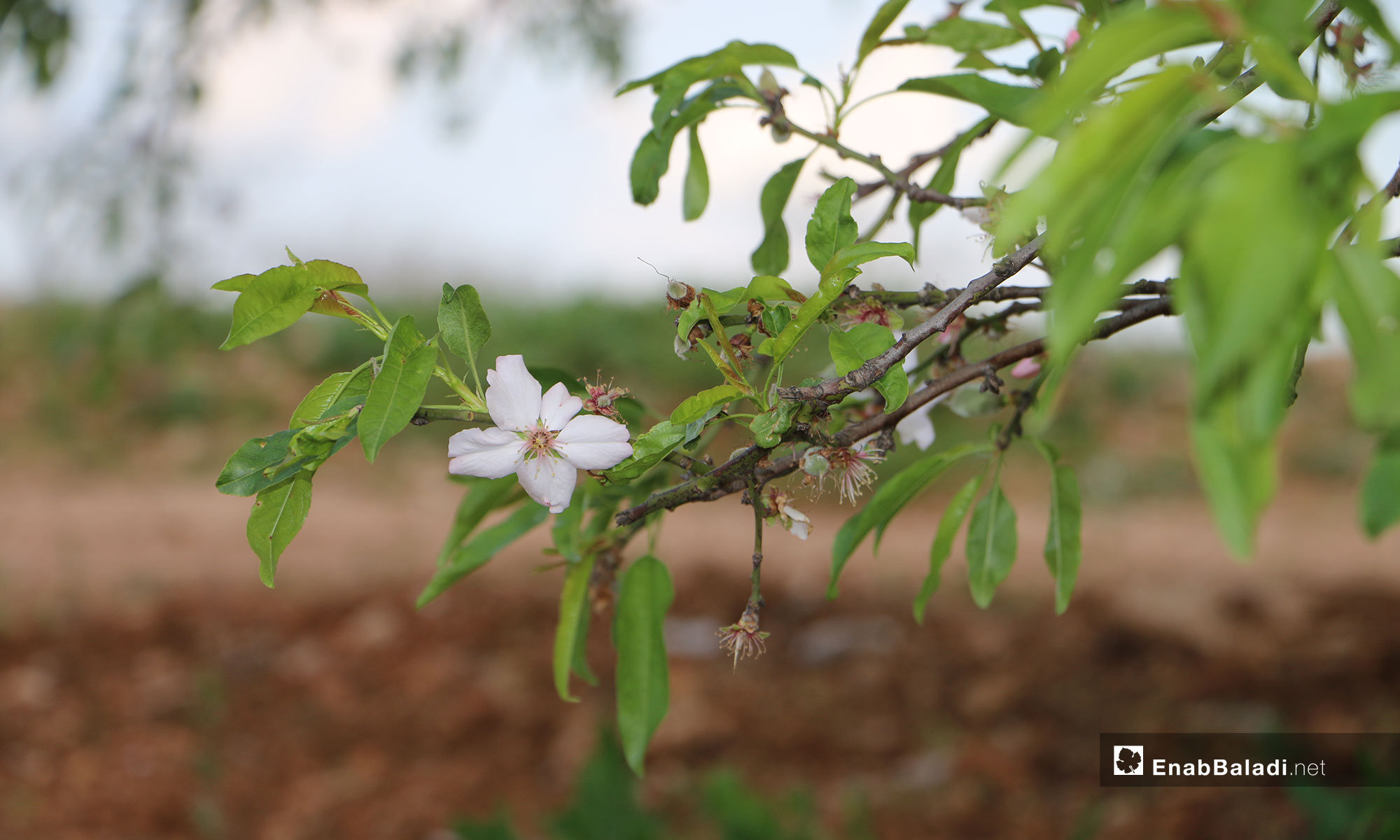 Flowers of almond trees blossoming in northern rural Aleppo – April 10, 2019 (Enab Baladi)