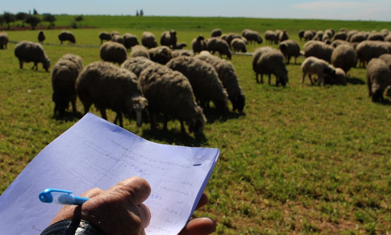 Man counting the number of sheep in northern Aleppo countryside - 26 March 2019 (Syria Recovery Trust Fund)