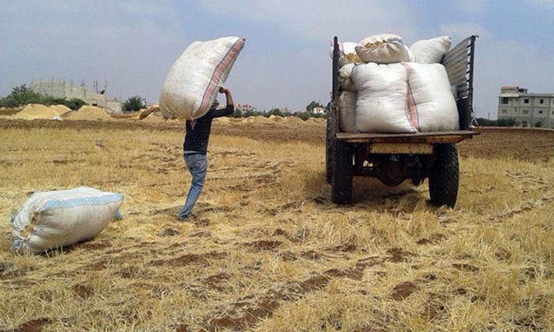 Barley harvest season in rural Swaida - 4 August 2018 (SANA)