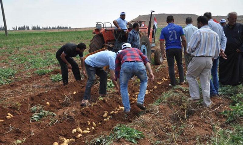 Farmers harvesting the potato crop in western rural Homs – 2017 (SANA)