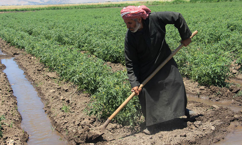 A project to support agriculture in al-Roj valley in Idlib (provided by Hand In Hand For Aid and Development)