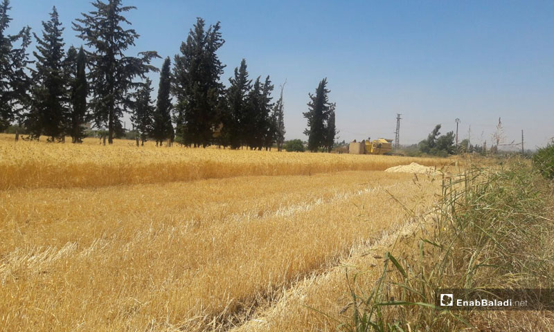 Wheat in the plains of the western countryside of Daraa province - July 20, 2019 (Enab Baladi)