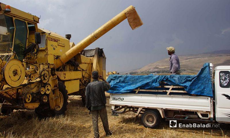 Wheat harvest in the Ghab Plain, May 29, 2018(Enab Baladi)