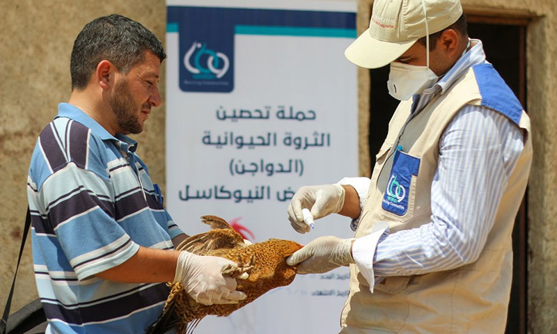 Chicken vaccination campaign against the Newcastle disease – July 11, 2019 (Enab Baladi)