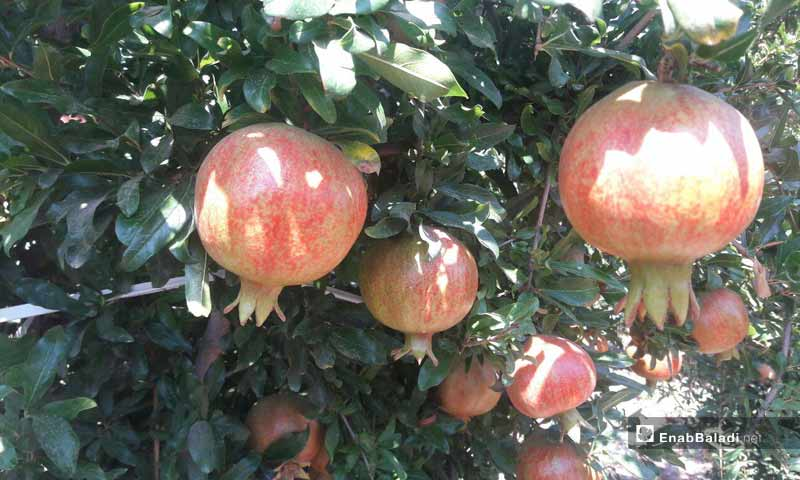 Pomegranate orchards in the southern area of Daraa Province- August 31, 2019 (Enab Baladi)