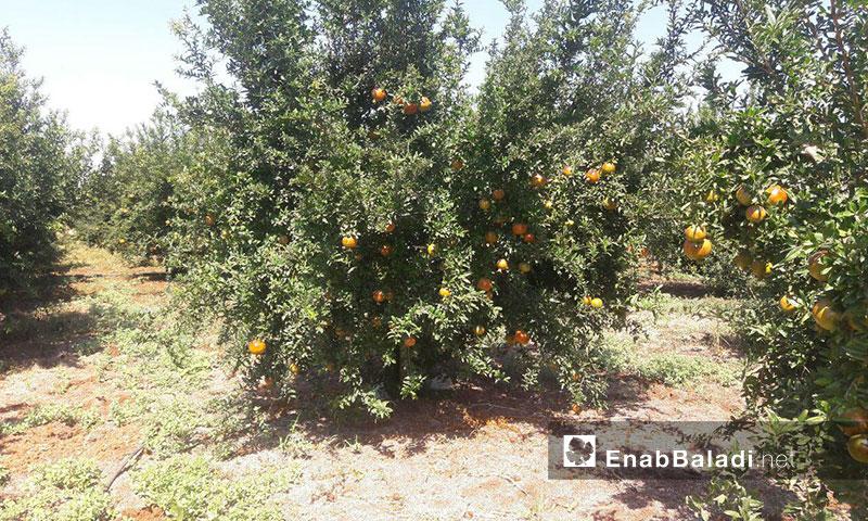 Pomegranate trees in Tafass town, western rural Daraa – August 31, 2019 (Enab Baladi)