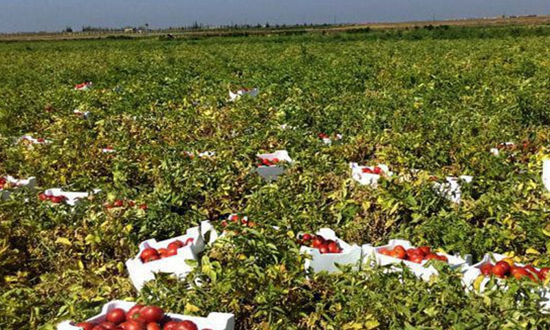 Tomato harvest in Daraa - May 2019 (Ortas Radio and Television Centre in Daraa)