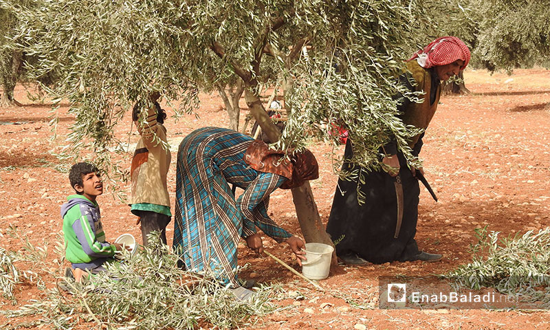 A Syrian family collect olives in an olive grove in the northern countryside of Aleppo- 26 October 2017 (Enab Baladi)