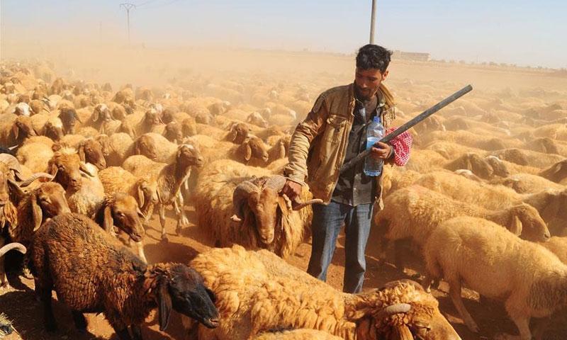 Sheep grazing in Daraa - July 4, 2018 (Xinhua News Agency)