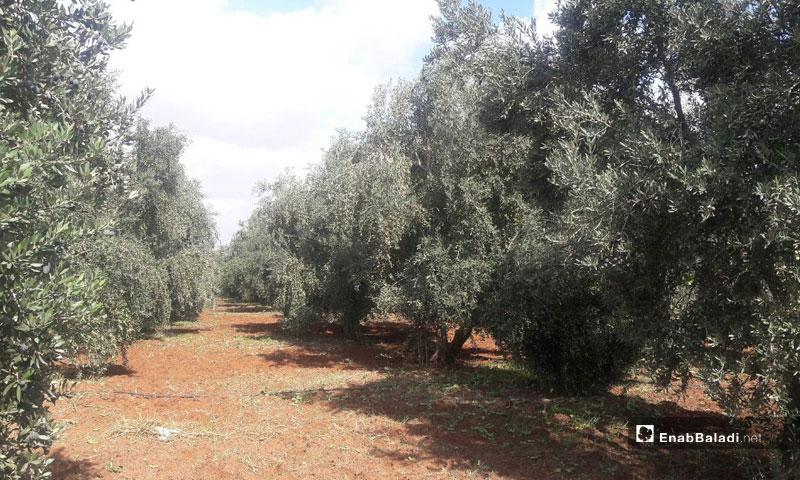 Olive trees in the western area of Daraa - 1 October 2019 (Enab Baladi)