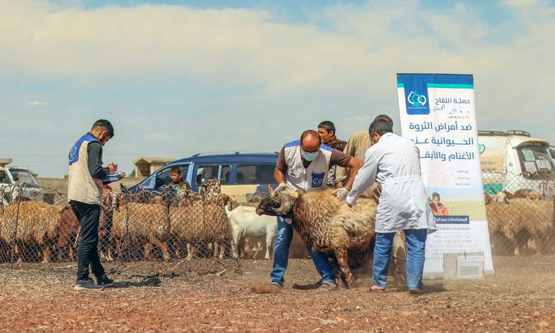 Livestock vaccination campaigns in the provinces of Idlib and Aleppo- 14 October, 2019 (Watan organization)