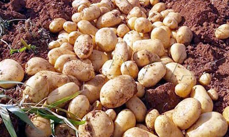 Potato crop in the northern countryside of Homs in August 2018 (SANA)