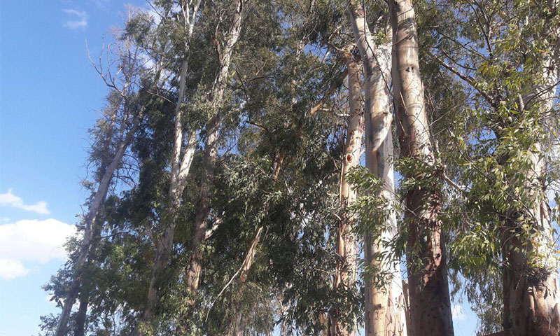 Eucalyptus tree in the western countryside of Daraa (Enab Baladi's archive)