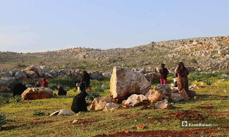 Internally displaced women in Barisha area camps picking mallow and elm plants from the wilderness of Barisha Mountain to use them in food preparation-13 March 2020 (Enab Baladi)