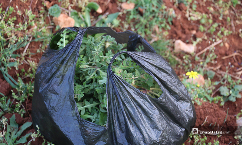 Mallow and elm edible weeds growing in the wilderness of Barisha Mountain in rural Idlib, are gathered by some women to use them in food preparation-13 March 2020 (Enab Baladi)