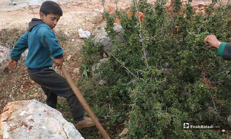 Syrian children pick up tree branches to light a fire for warmth in the cruel winter, amid lack of heating supplies in the village of Barisha in Idlib  - 19 February 2020 (Enab Baladi)