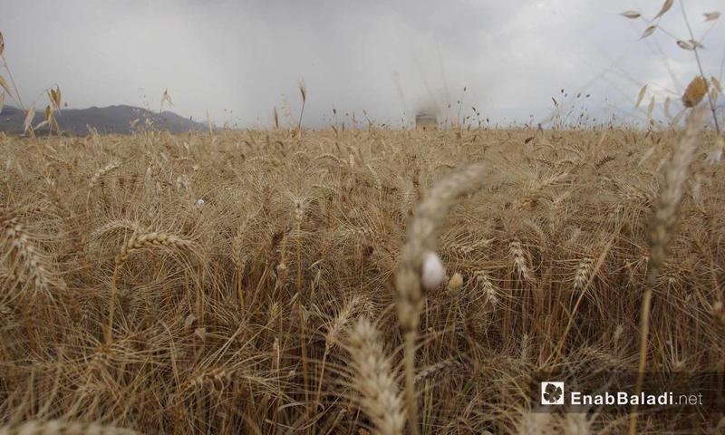 Harvesting wheat in al-Ghab Plain, Hama countryside - 29 May 2018 (Enab Baladi)
