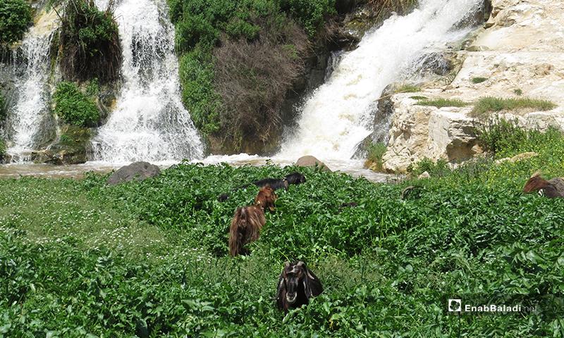 Tell Shihab Waterfalls in rural Daraa province – 12 April 2020 (Enab Baladi)