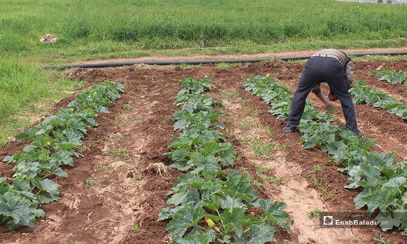 A man planting seasonal crops in al-Rouge Plain of rural Idlib – 16 April 2020 (Enab Baladi)