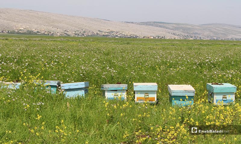 Apiaries in al-Rouge Plain of rural Idlib – 16 April 2020 (Enab Baladi)