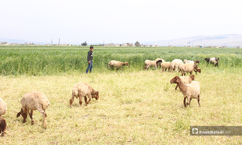 A child herding sheep in al-Rouge Plain of rural Idlib – 16 April 2020 (Enab Baladi)