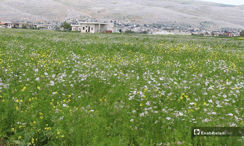Agricultural season in al-Rouge Plain of rural Idlib– 16 April 2020 (Enab Baladi)