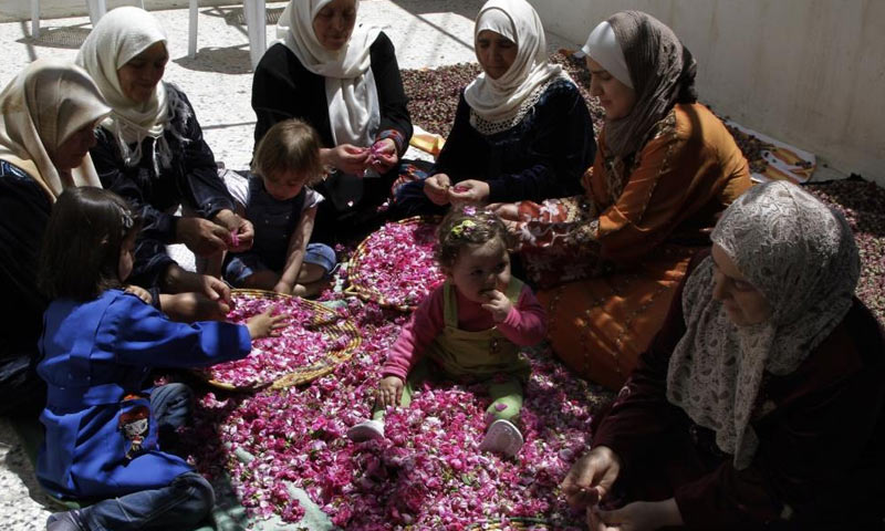 Syrian women separating fresh petals of the Damask roses in al-Mrah town, near Damascus to extract aromatic and therapeutic materials (Reuters)