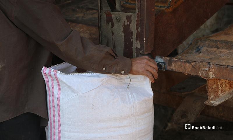 The placing of barley grains in bags after their harvesting – 30 May 2020 (Enab Baladi / Abdul al-Salam Majaan)