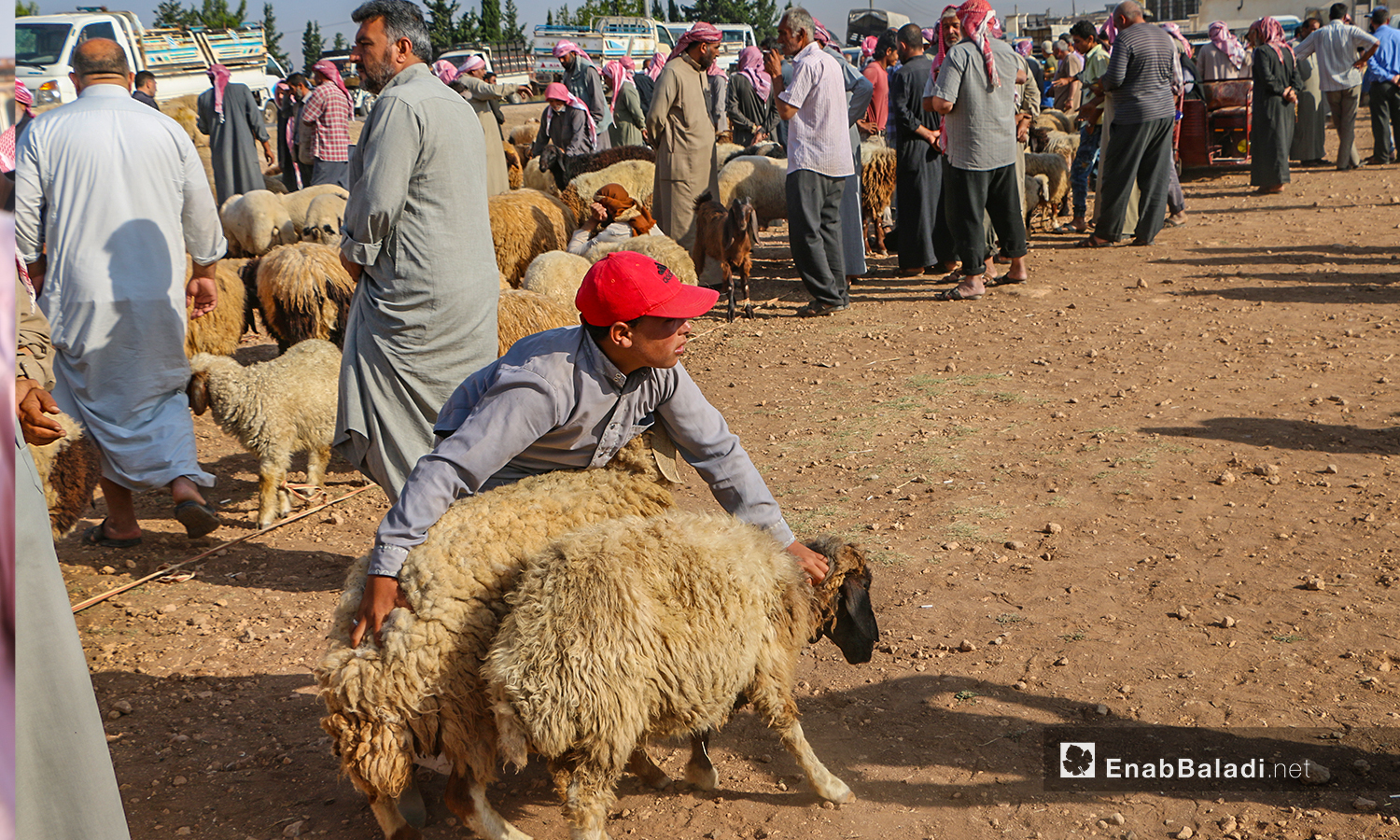 Sheep offered for sale in Arshaf town's market in northern Aleppo countryside – 27 July 2020 (Enab Baladi / Abdul Salam Majan)