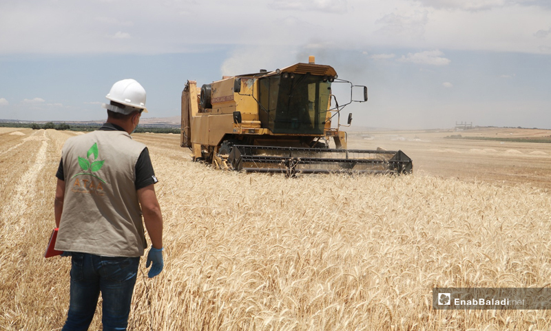 """An employee of the """" Ataa"""" Humanitarian Relief Association, supervising the wheat harvesting operation in the city of Ma'arrat Misrin within the project """"Supporting the wheat value chain"""" - 14 June (Enab Baladi / Shadia Taataa)"""