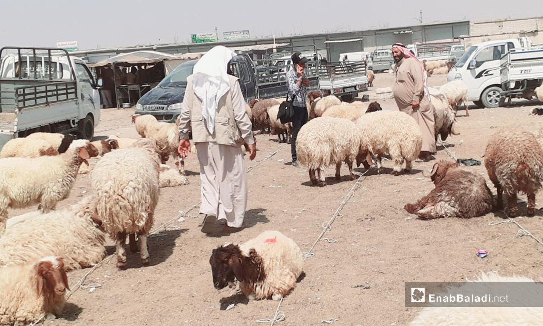 A man standing between the sheep in al-Raqqa city before Eid al-Adha – 29 July 2020 (Enab Baladi / Abdul Aziz Saleh)