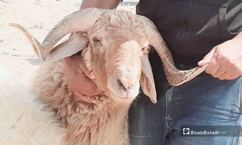 A man holding a sheep in the sheep market of al-Raqqa city before Eid al-Adha – 29 July 2020 (Enab Baladi / Abdul Aziz Saleh)