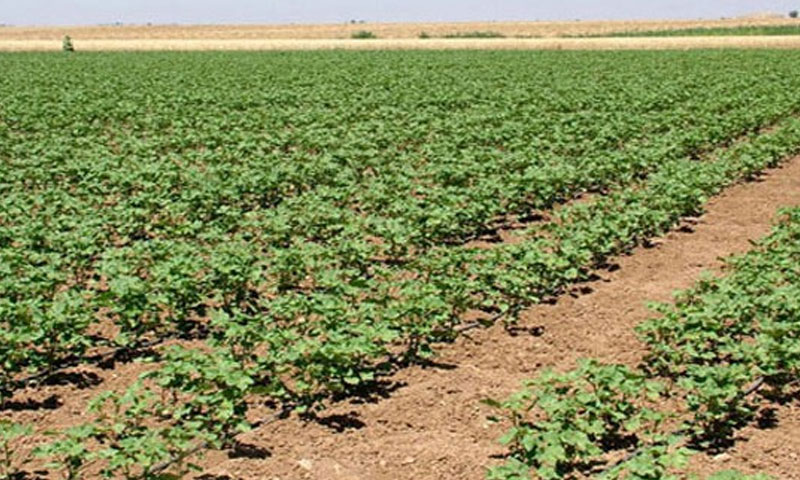 : Agricultural lands in Homs countryside (SANA)