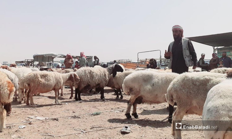 Al-Raqqa's sheep market before Eid al-Adha – 29 July 2020 (Enab Baladi / Abdul Aziz Saleh)