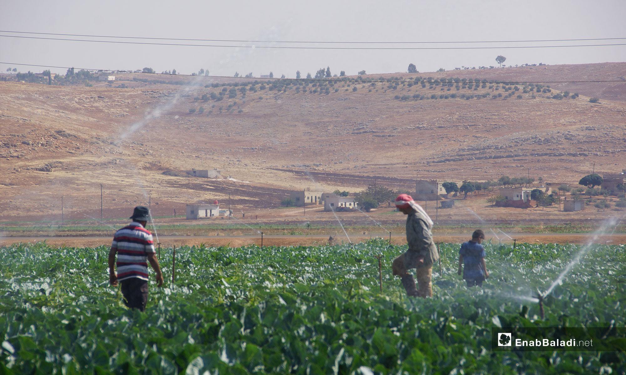 Planting vegetables in Hama countryside - 29 August 2018 (Enab Baladi)