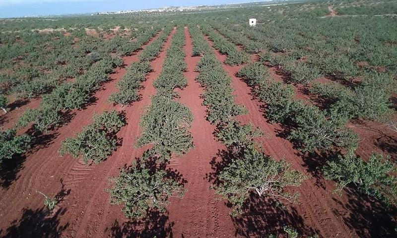 Pistachio farmlands in Murak town in Hama countryside -2019 (Syria Hashtag)