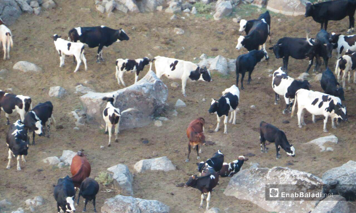 The cows grazing in the Yarmouk Valley – 07 August 2020 (Enab Baladi / Halim Mohammad)