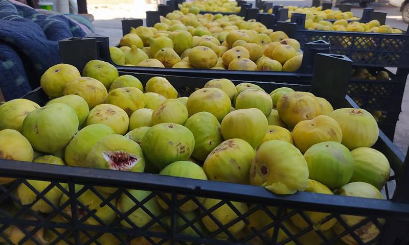Fig fruits in the Jabal al-Zawiya area in Idlib countryside - 21 August 2020 ((Iqtisad)