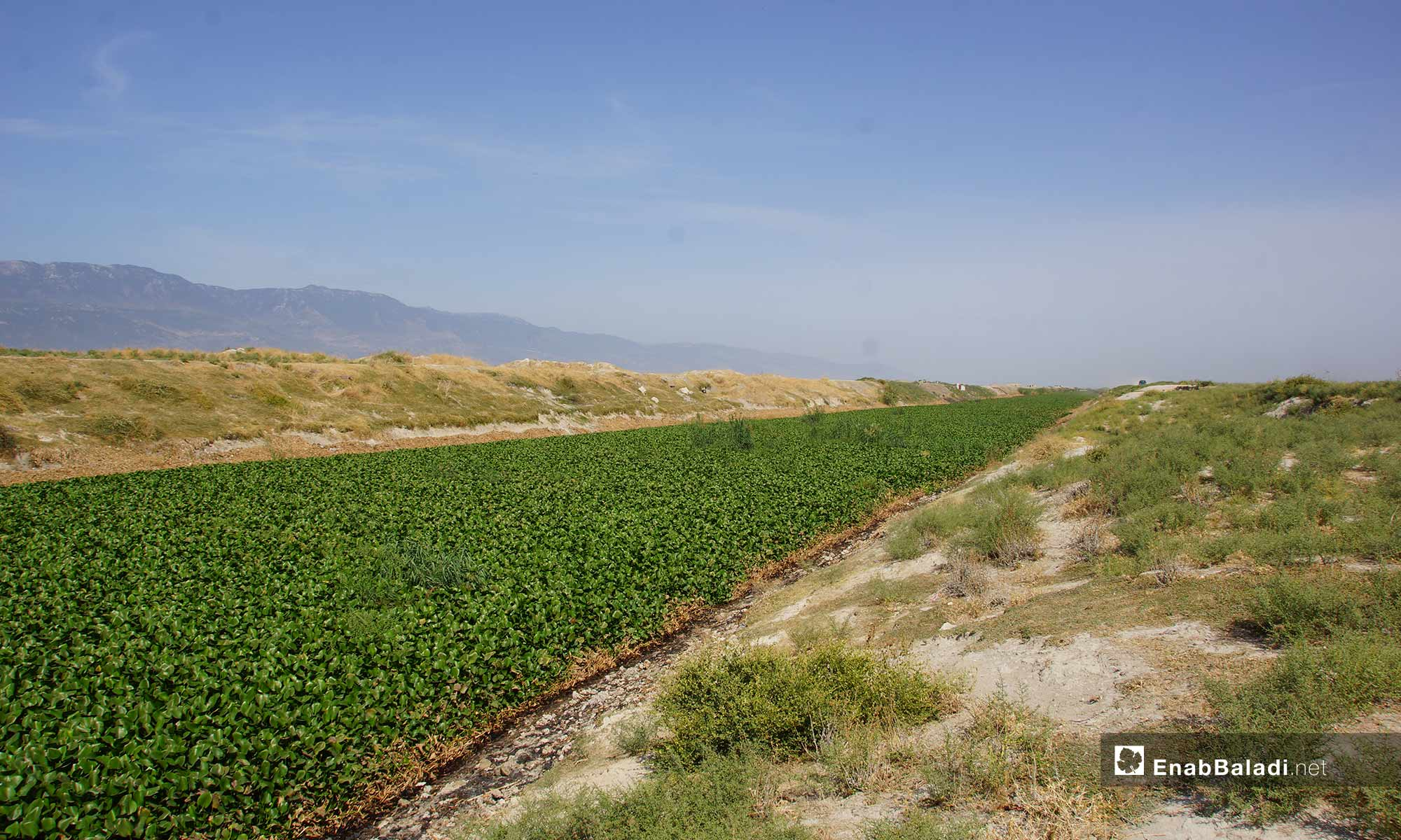 The residents of al-Ghab Plain suffer from the spread of the Nile flower in the farmlands on the Orontes River in Hama countryside - 30 September 2018 (Enab Baladi)