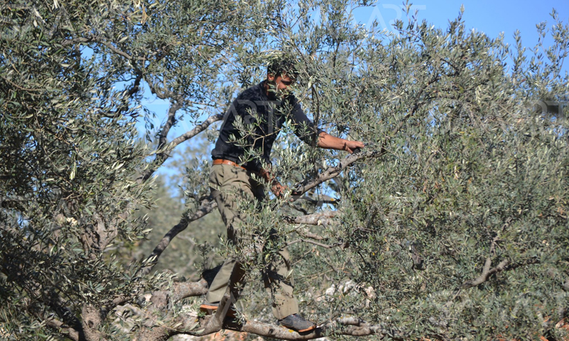 A young man picking olives in the countryside of Qunaitra - 2018 (smart)